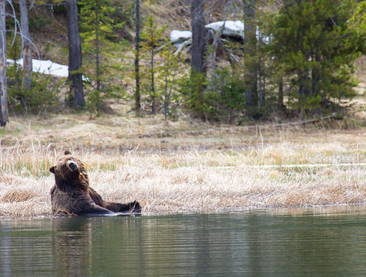 Grizzly bear soaking in a wetland