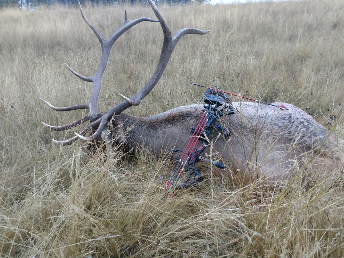 Bull elk at kill site