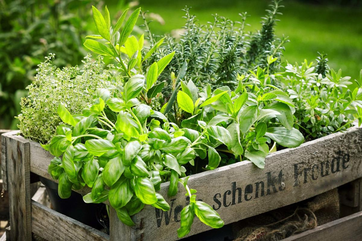 Wooden crate with variety of potted culinary herbs