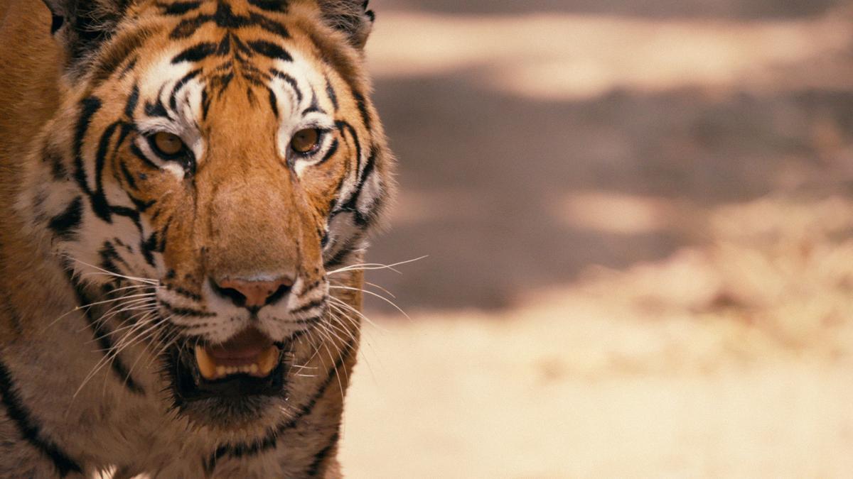 'Tigerland'
