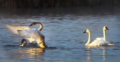 Swan cygnets at Lee Metcalf National Wildlife Refuge