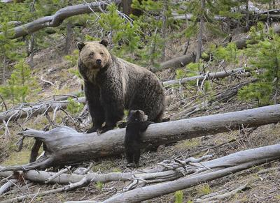 Hunting Grizzlies