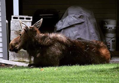 Hamilton moose