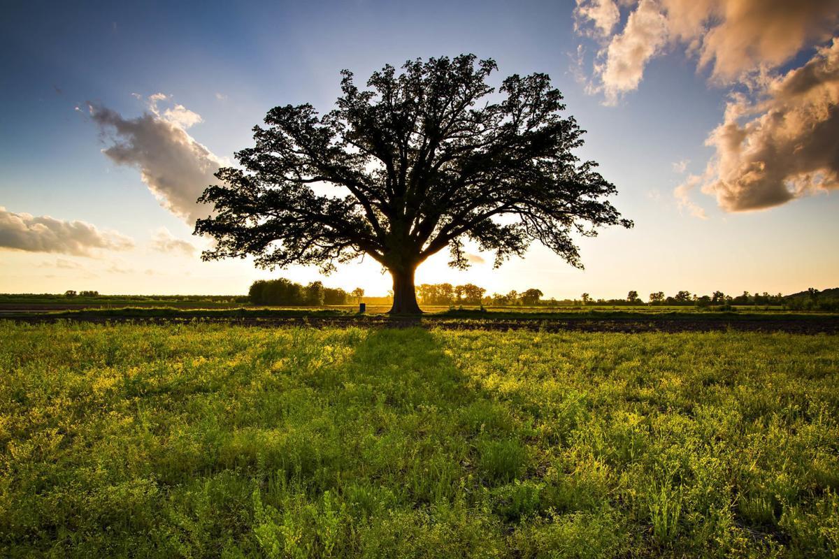 Champion McBaine Bur Oak in Summer Sunset