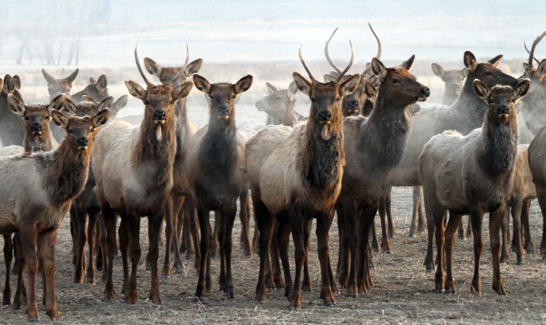 Elk herd file