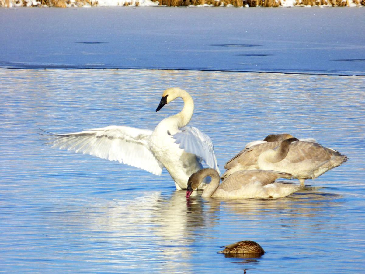 Swans at the Lee Metcalf National Wildlife Refuge