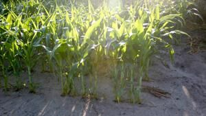 Considerations for herbicide applications under hot, dry conditions