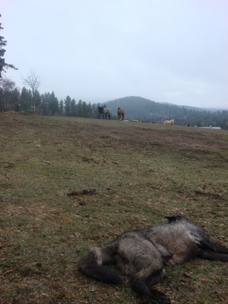 Shot wolf part of Trapper Peak Pack