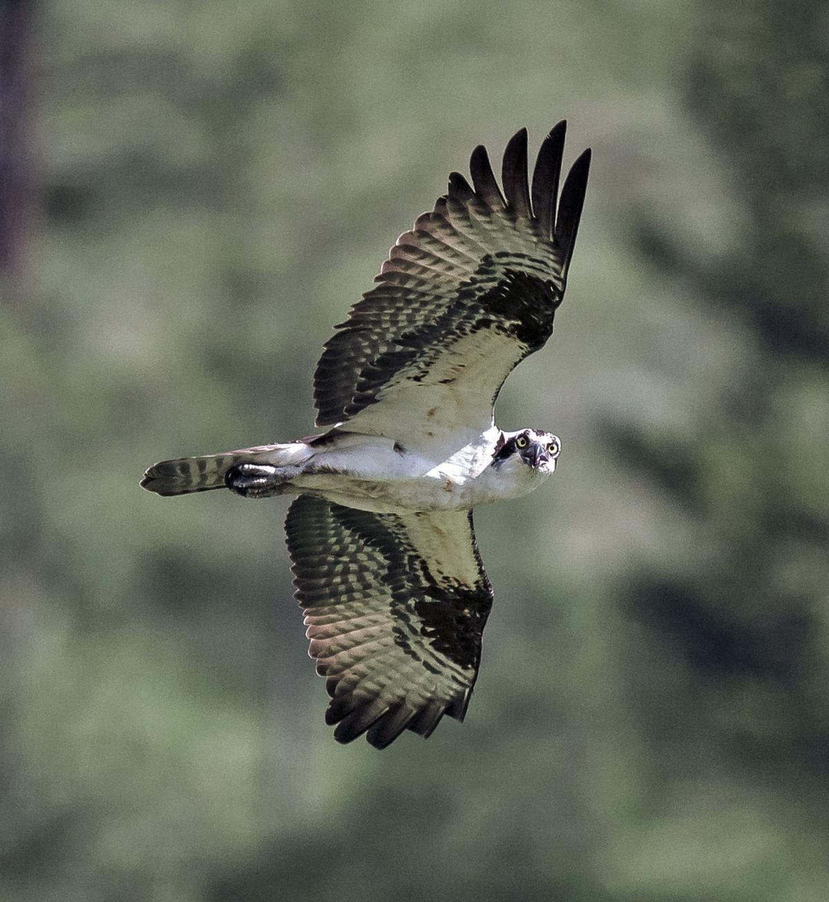 Ospreys are conservation success story