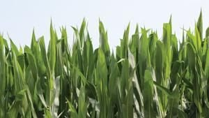 Wet weather means variable crop stages