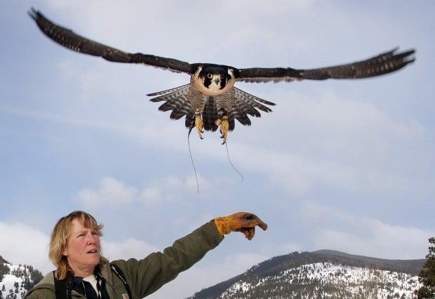 Tales of talons: Raptors of the Rockies founder educates public on birds of prey