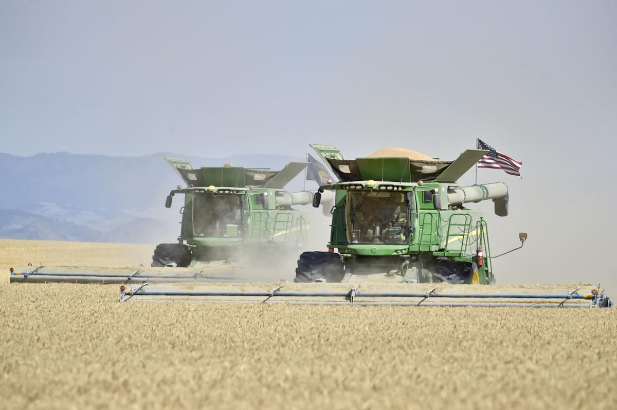 Two combines harvest a field of wheat Thursday