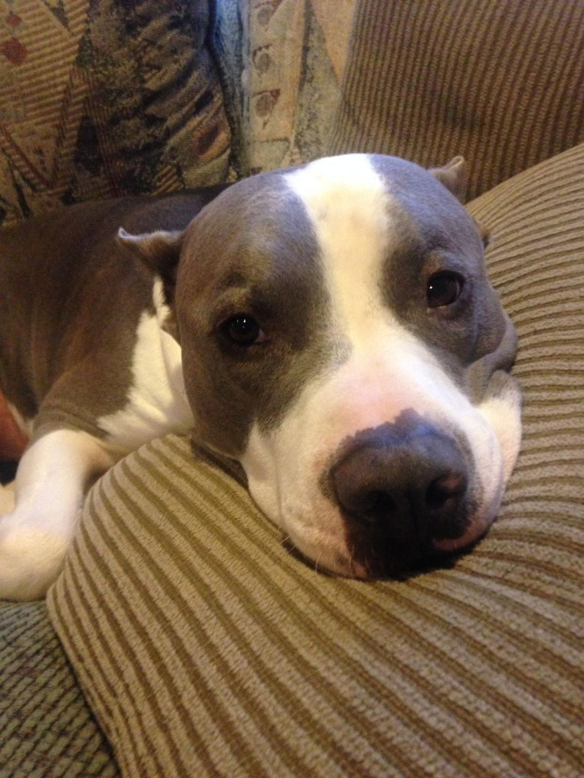 Lou, the pit bull