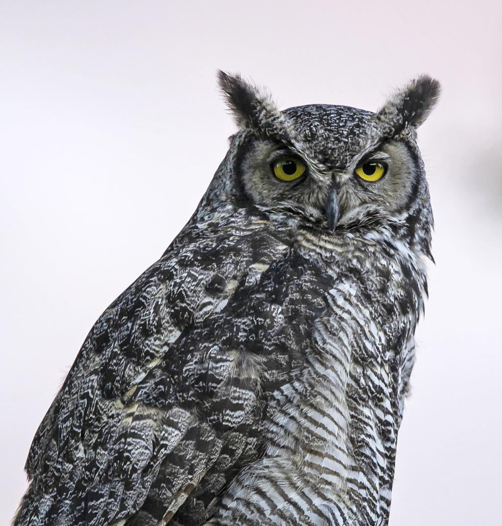 Great Horned Owls Yearlong Residents In Bitteroot Local News Ravallirepublic Com