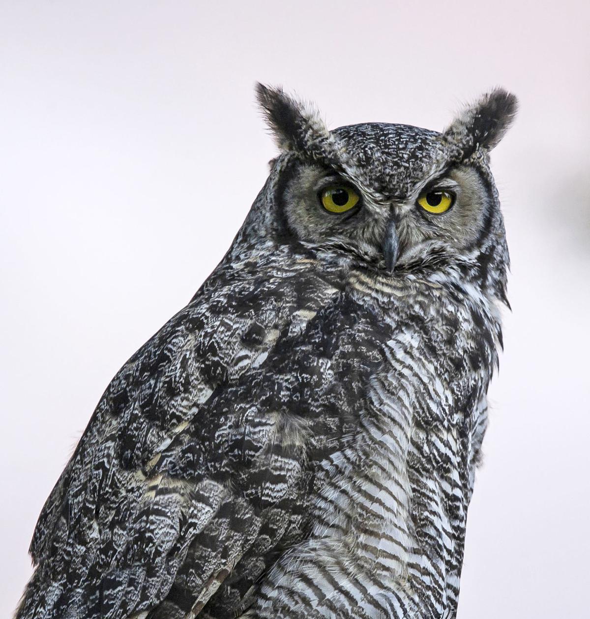 Great Horned Owls Yearlong Residents In Bitteroot Local News Ravallirepublic Com