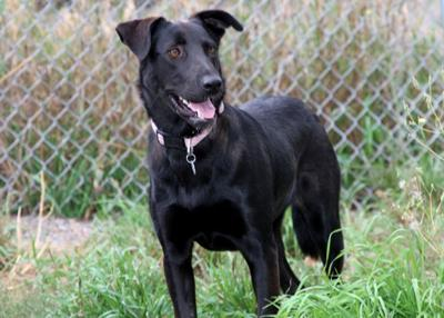 Pet of the week Lab, border collie mix is the perfect