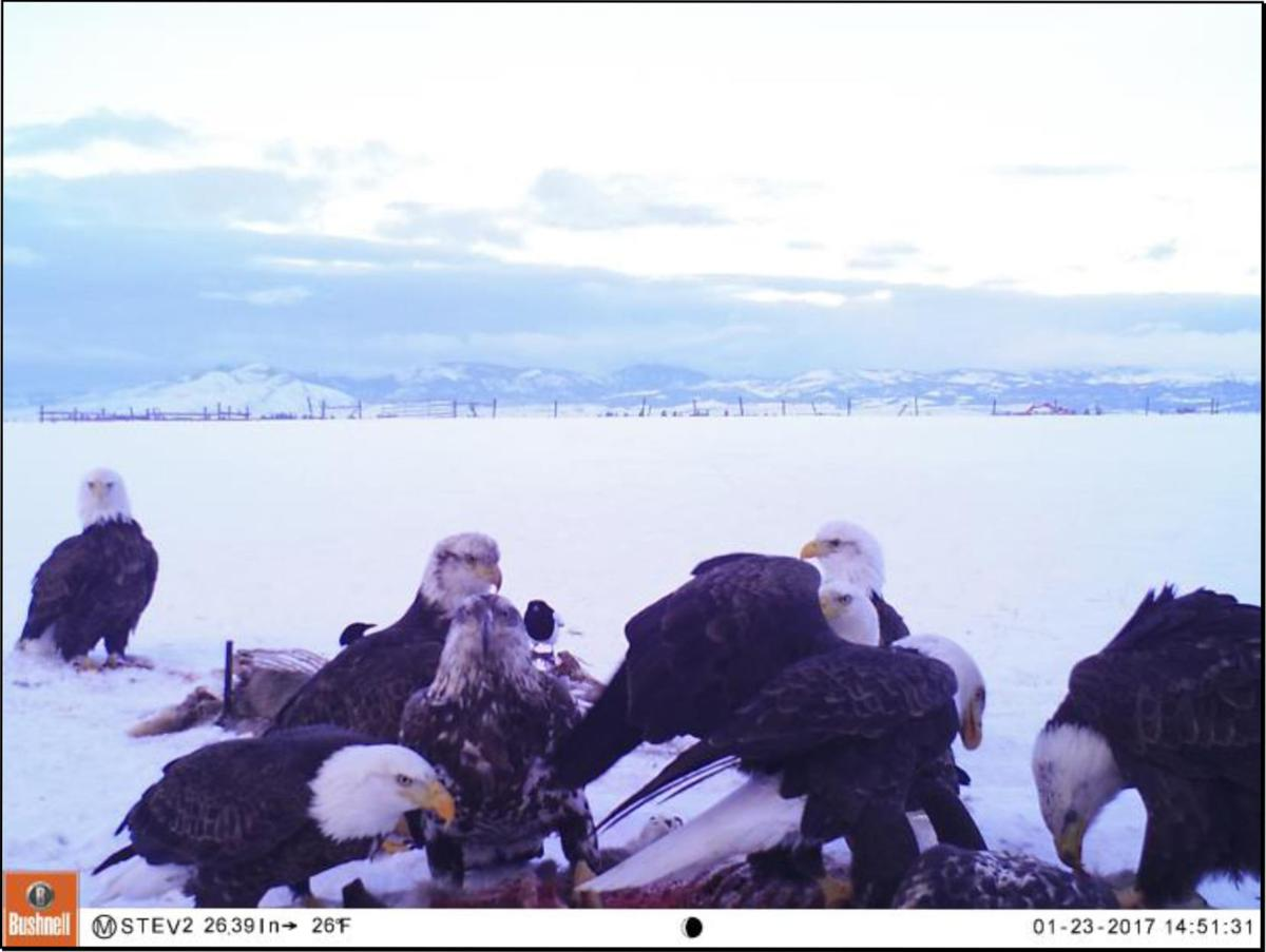 Bitterroot\'s Winter Eagle Project shows just who\'s coming to dinner ...