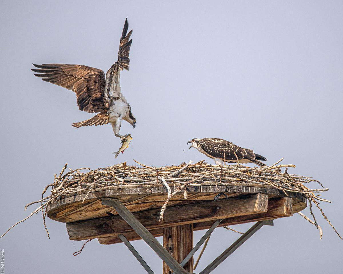 Osprey are conservation success story