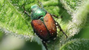 Japanese beetles headline potential problem pests in 2021