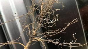 Sample for SCN now to preserve soybean yield potential