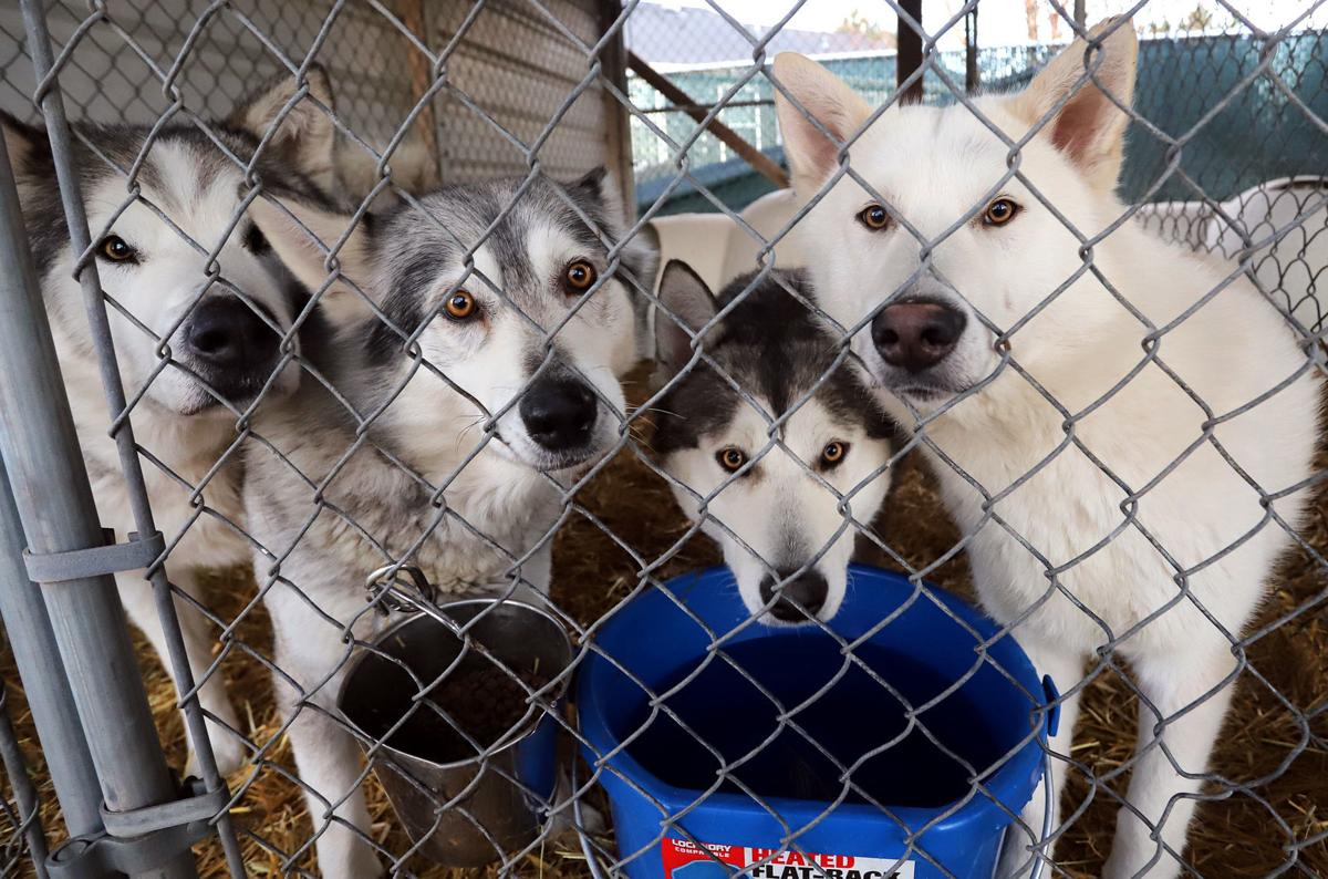 Bitter Root Human Association shelter overwhelmed by support after rescuing 39 huskies