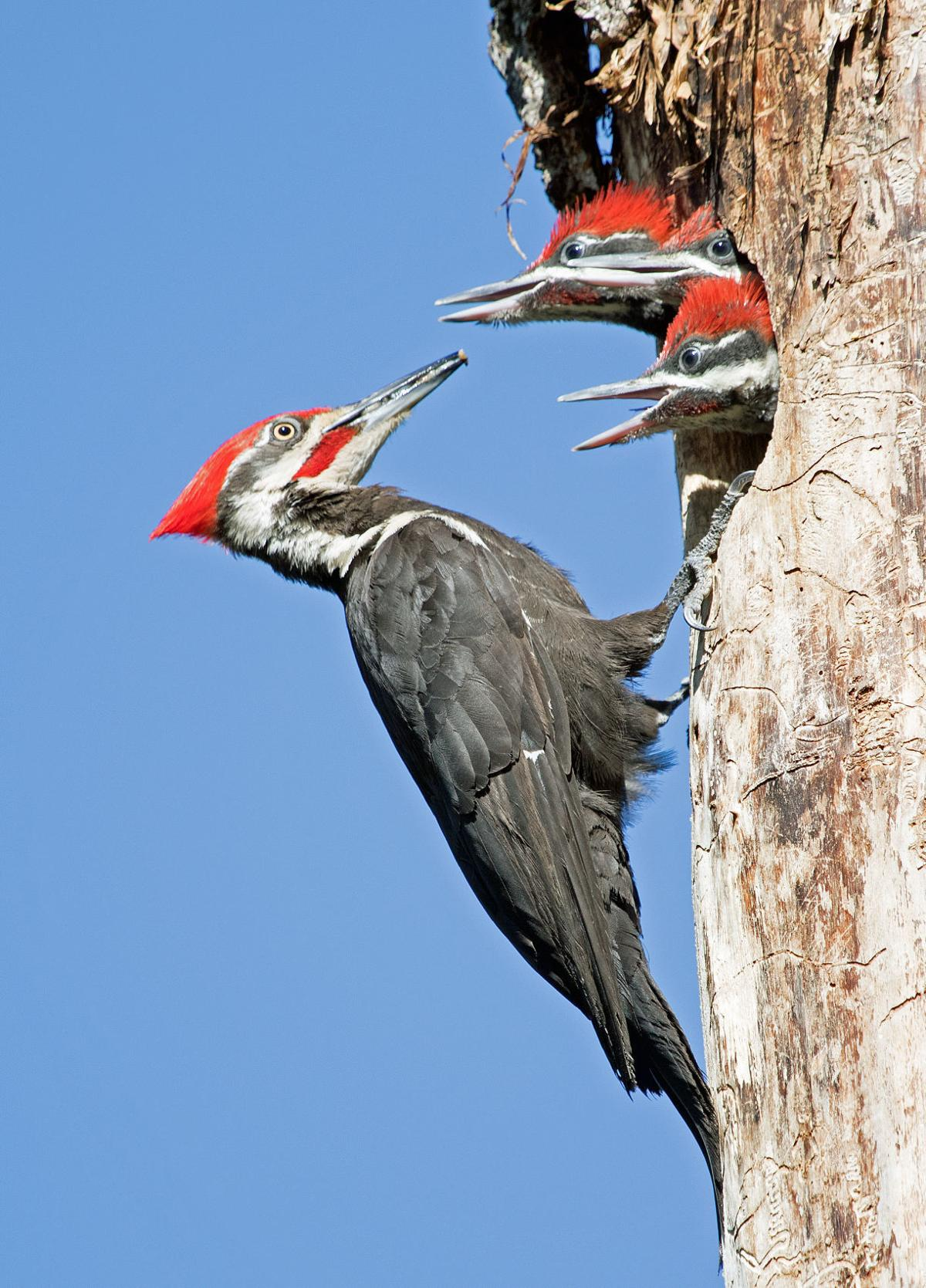 Pileated woodpeck
