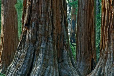 Giant tree stumps