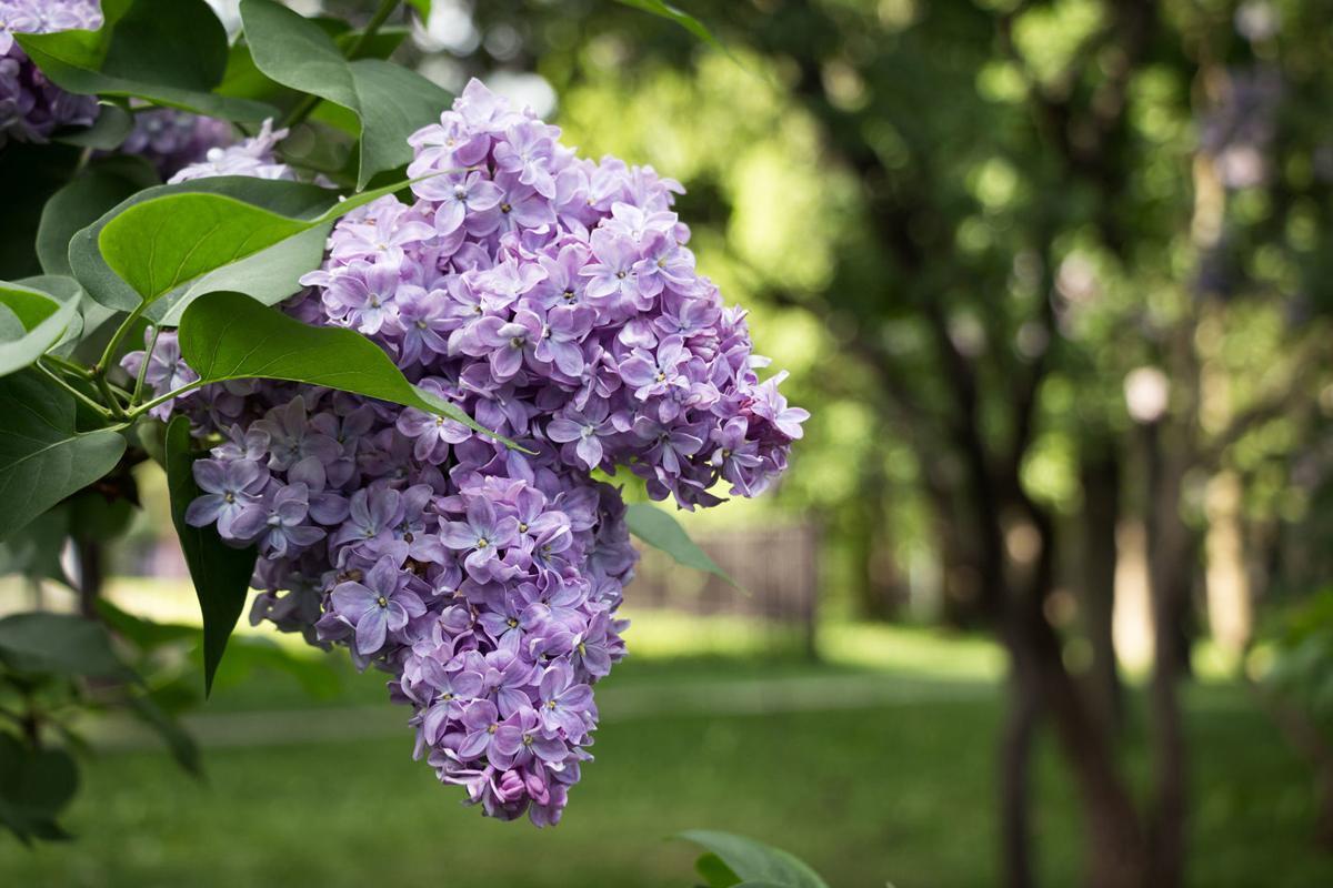 Lilac Flowering. Lilac Bush Bloom.