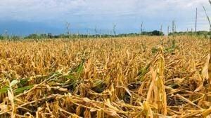 Late rains do little for Iowa crop