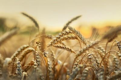 Wheat, stock