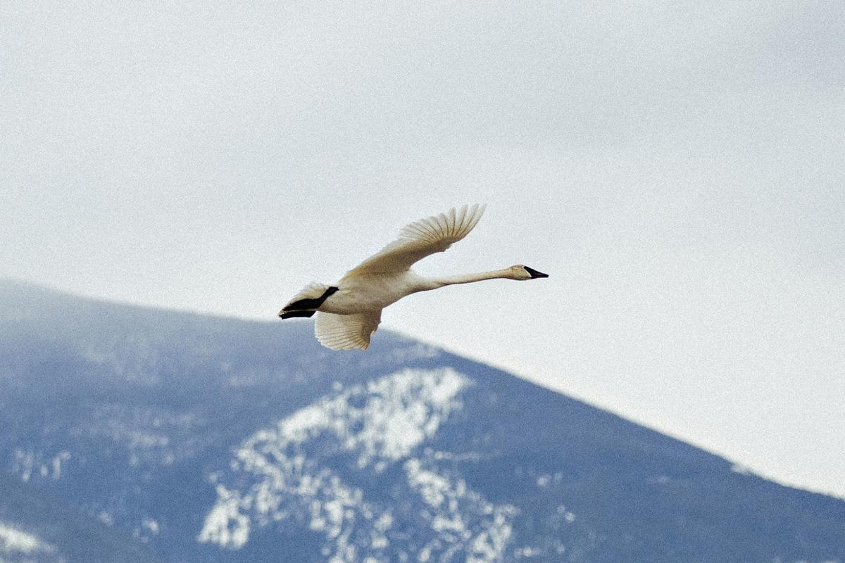 Trumpeter swan visits Teller Wildlife Refuge