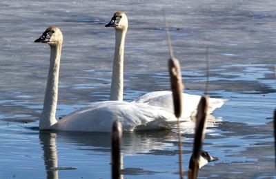 Trumpeter swan at Lee Metcalf National Wildlife Refuge