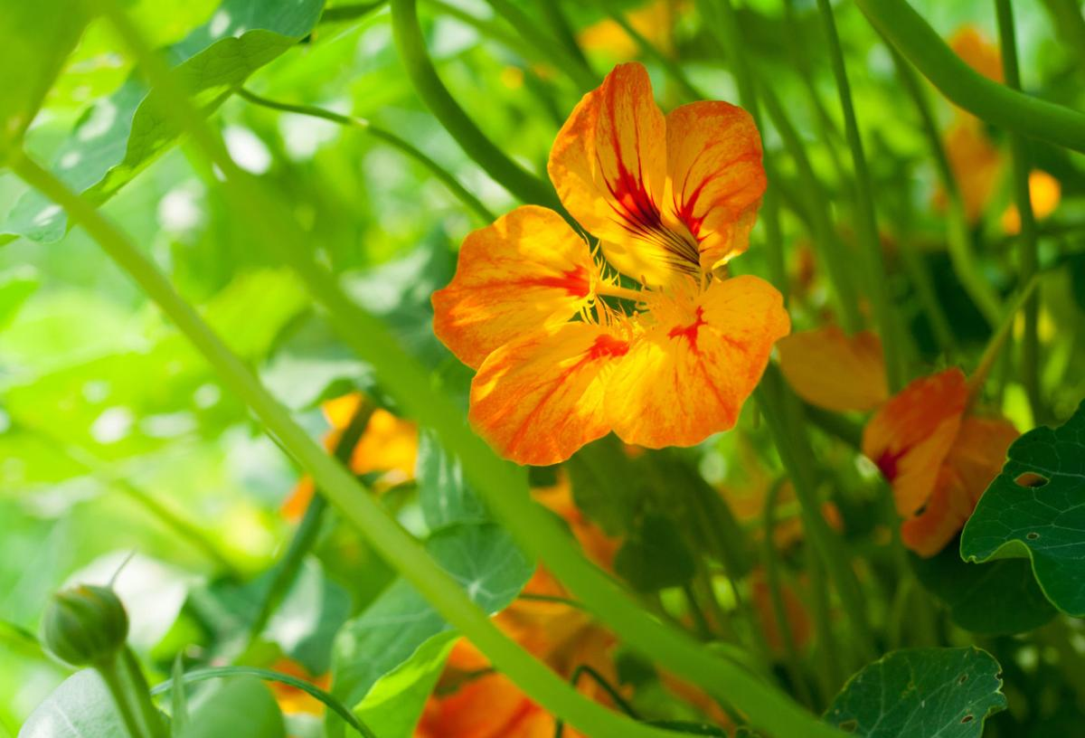Not known Incorrect Statements About When To Plant Nasturtium Seeds Uk