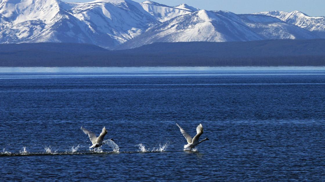 Trumpeter swans released in Yellowstone an attempt to boost population