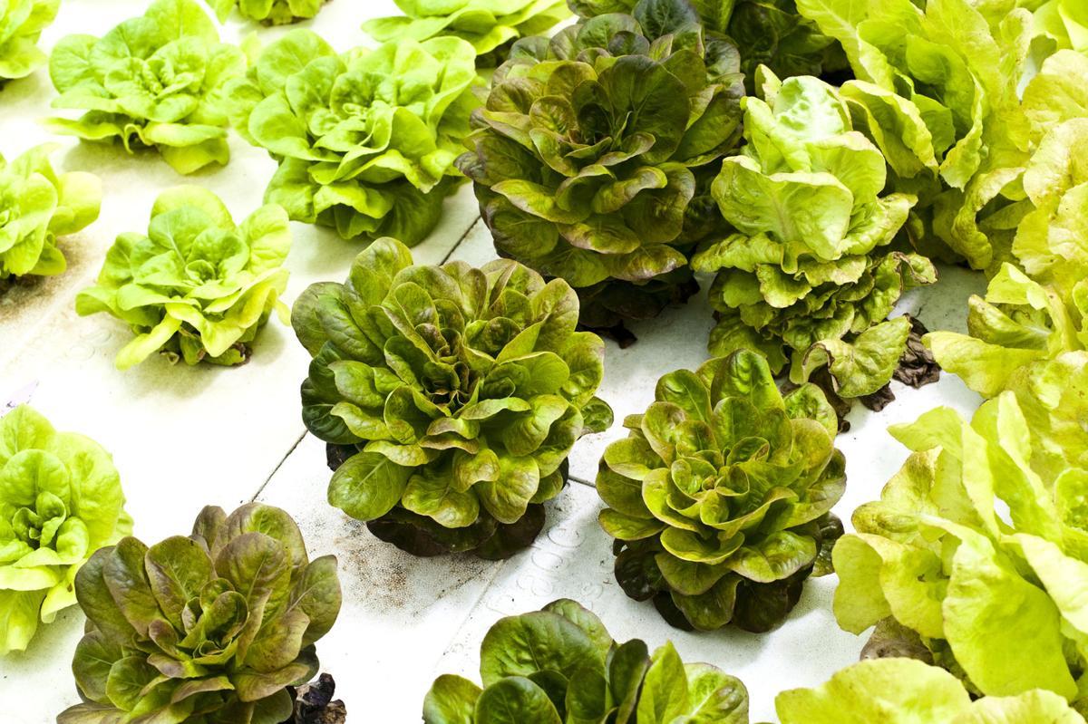 Lettuce, kale, Swiss chard, oh my