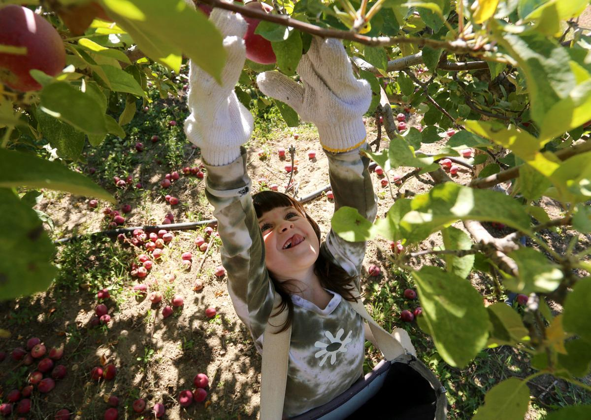 Bitterroot apples: Ravalli County museum set to host Apple Day and Cider Night
