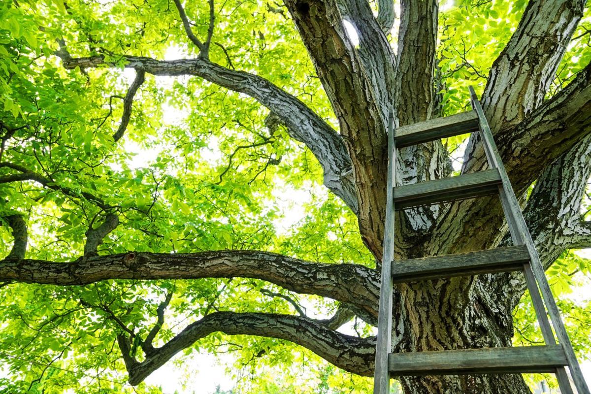 Huge walnut tree canopy