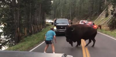 Man harasses Yellowstone bison