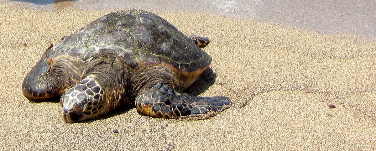 Bitterroot Audubon Green Turtle