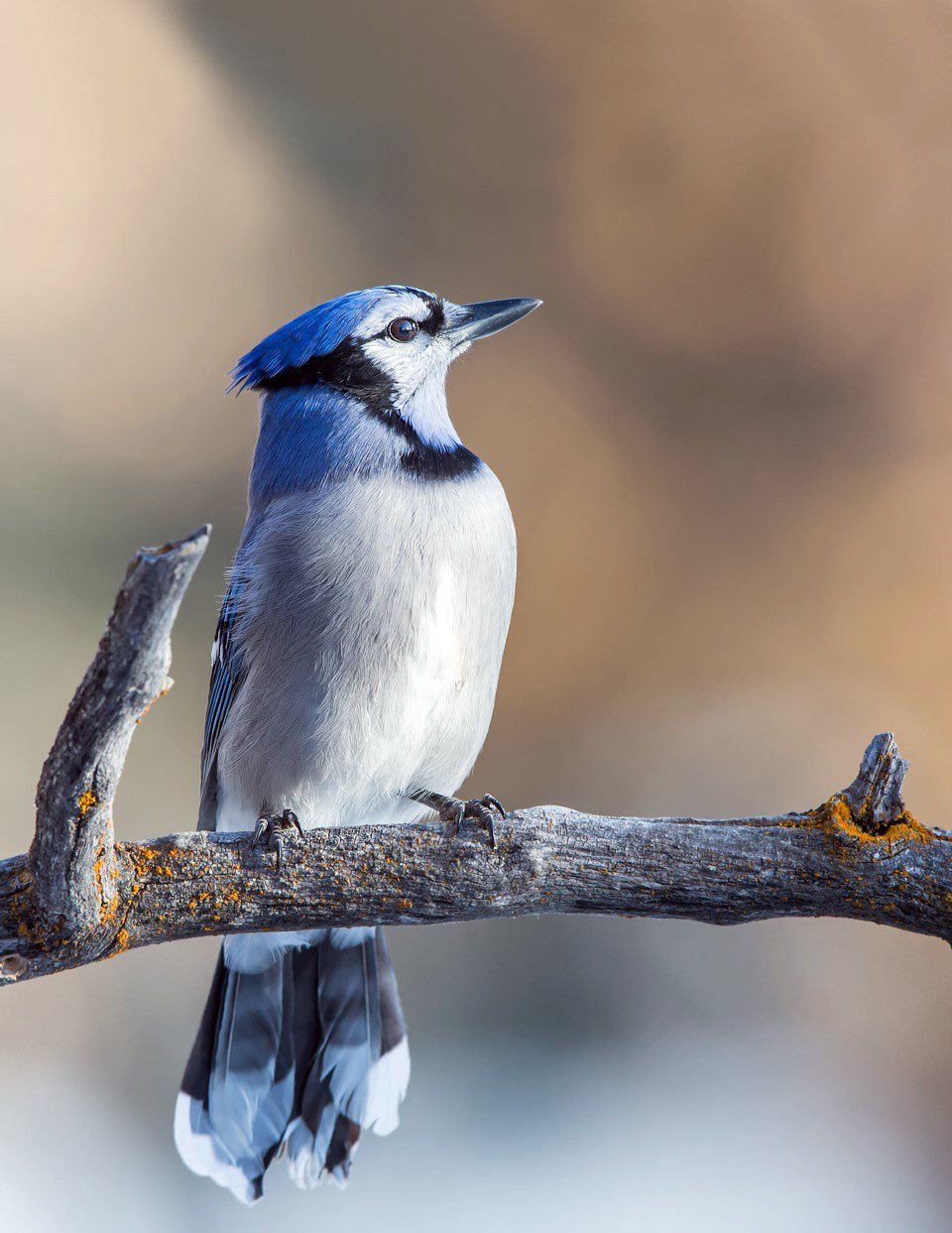 Blue Jay sighting a happy surprise at Teller Refuge