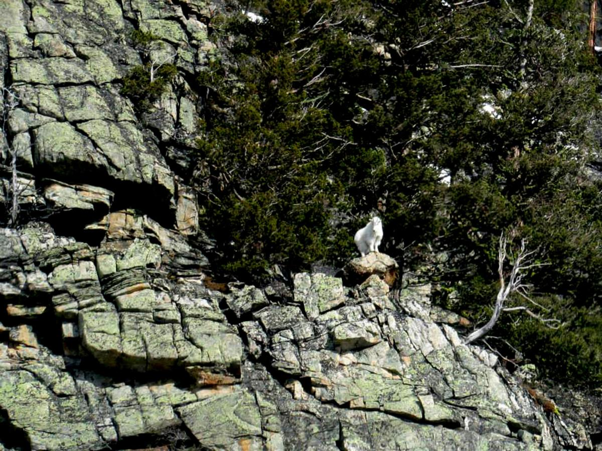 Surveying goats: FWP biologists use helicopter to conduct wildlife count in Bitterroot canyons