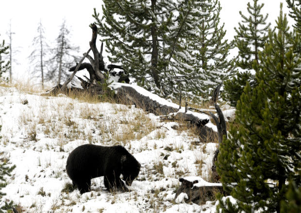 A grizzly bear forages in the fresh snow