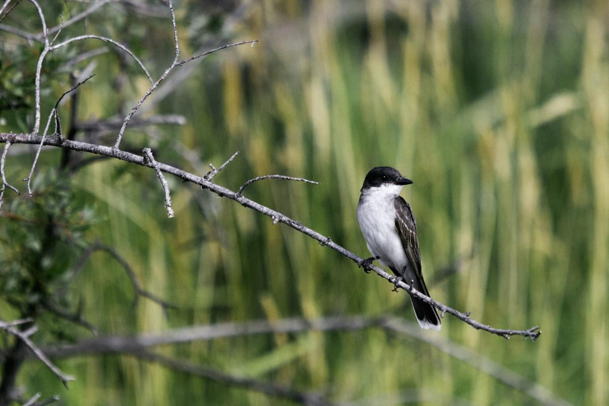 Eastern Kingbirds at the Teller Refuge