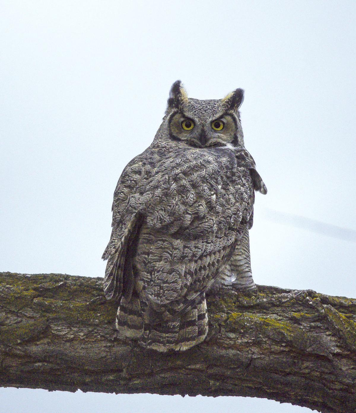 Lawry Great Horned Owl