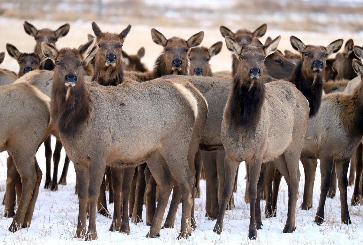 Elk in the Bitterroot