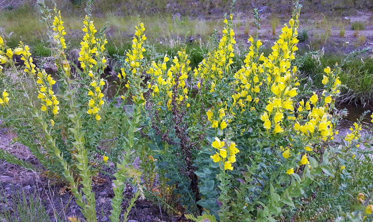 Weed of the Week: Dalmatian Toadflax: Pretty wildflower or problematic invasive?
