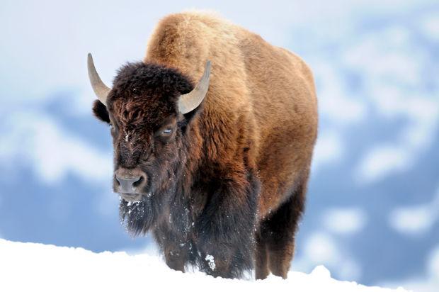012615 park bison mg.jpg