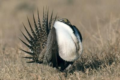 Male sage grouse