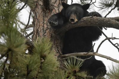 Black bear in the Rattlesnake