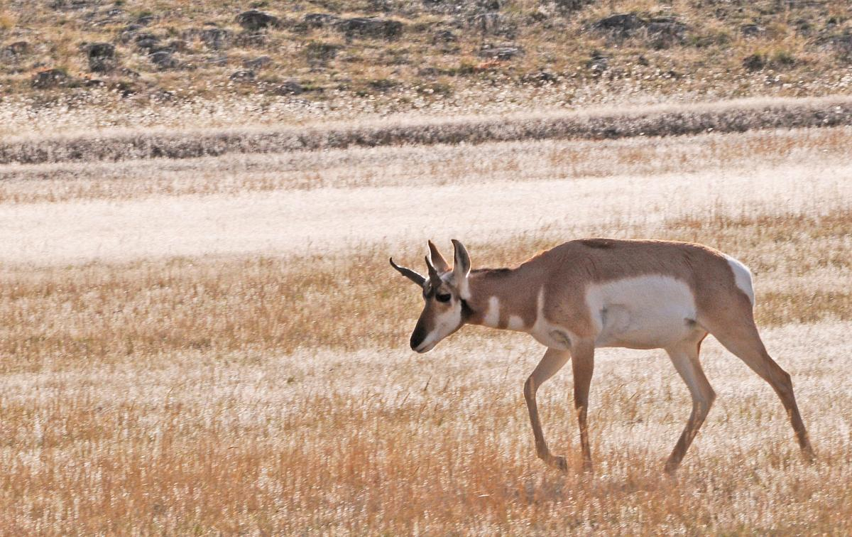 New pronghorn opportunities